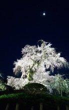 京都-桜-4.jpg