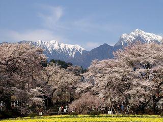 山梨県-神代桜-1.jpg