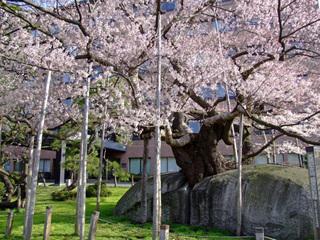 石割桜-1.jpg