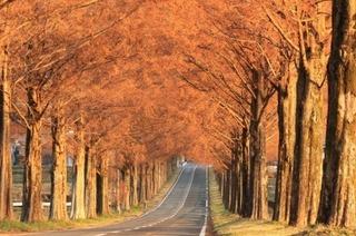 マキノ町-メタセコイヤ並木-2.jpg