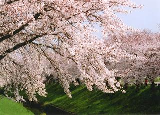 佐保川の桜-1.jpg