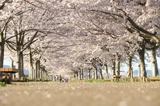 兵庫県-小野-桜回廊-1.jpg