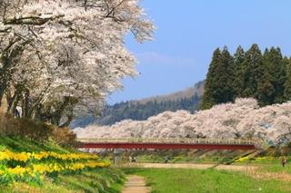 夏井千本桜-2.jpg