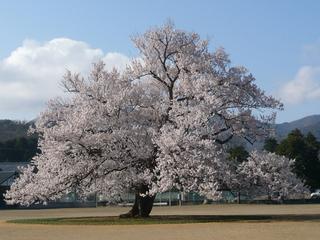 福井県-越前市-味真野の一本桜-1.jpg