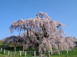 薄墨桜-1.jpg